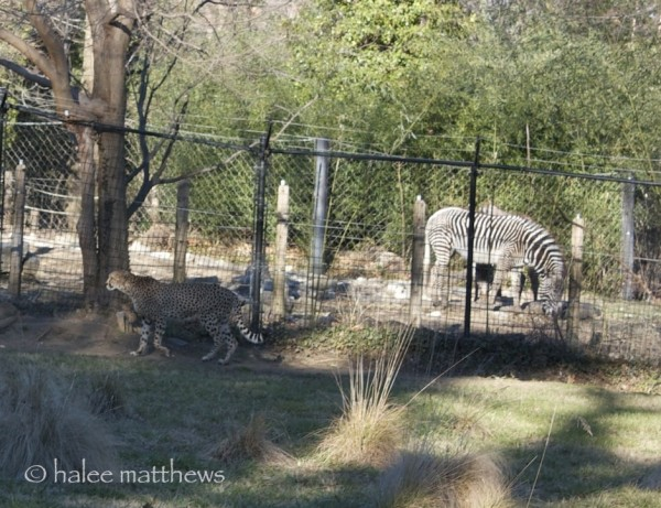 blog_cheetah fence