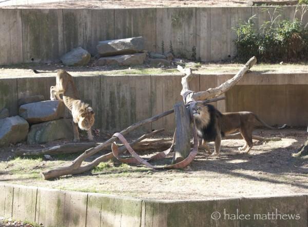 blog_lion battle1