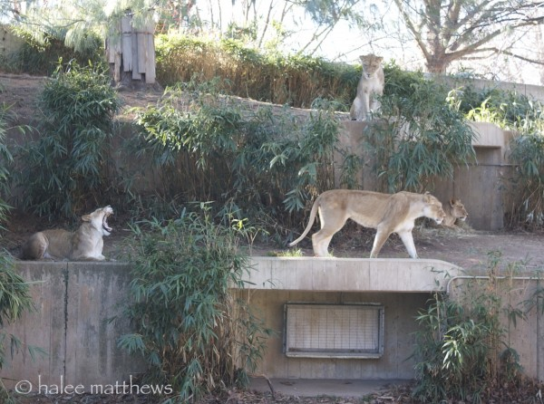 blog_lioness away1